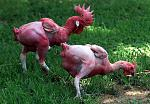 Click image for larger version  Name:naked_chicken.jpg Views:23 Size:409.0 KB ID:189210